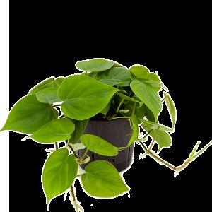 Philodendron scandens 25 cm magas, 13 cm-es cserépben