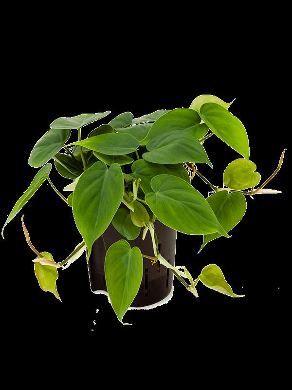 Philodendron scandens 25 cm magas, 15 cm-es cserépben