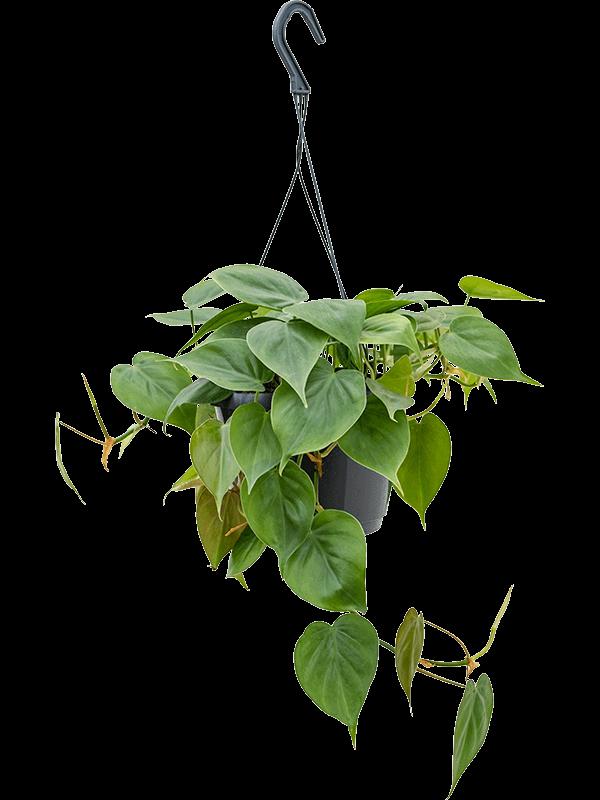 Philodendron scandens 40 cm magas, 17 cm-es cserépben