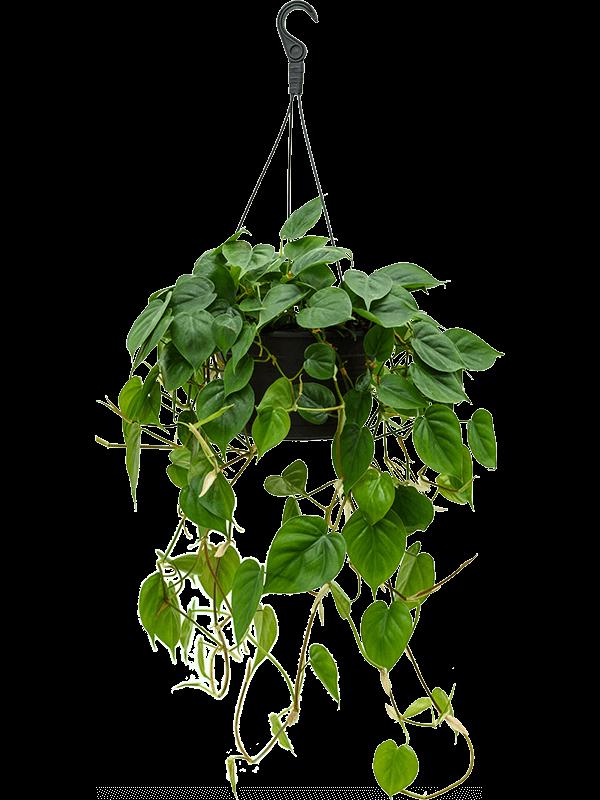 Philodendron scandens 50 cm magas, 28 cm-es cserépben