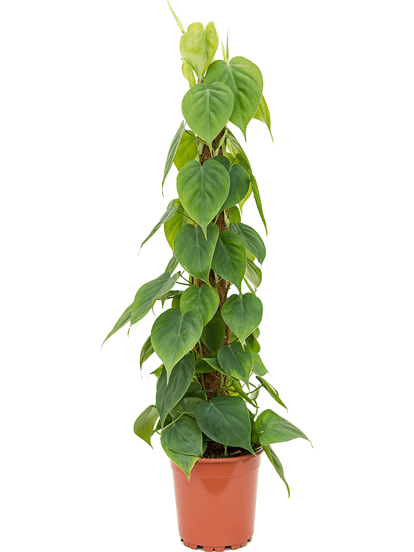 Philodendron scandens 75 cm magas, 17 cm-es cserépben