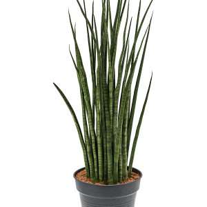 Sansevieria desertii 130 cm magas, 34 cm-es cserépben