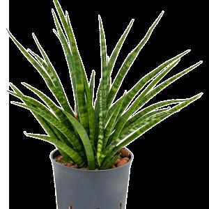 Sansevieria fernwood 30 cm magas, 15 cm-es cserépben