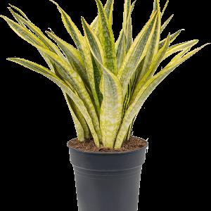 Sansevieria lauren 60 cm magas, 27 cm-es cserépben