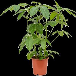 Schefflera amate 90 cm magas, 24 cm-es cserépben