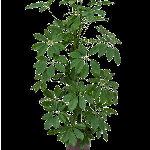 Schefflera arboricola 80 cm magas, 15 cm-es cserépben