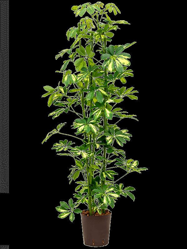Schefflera gold capella 100 cm magas, 18 cm-es cserépben