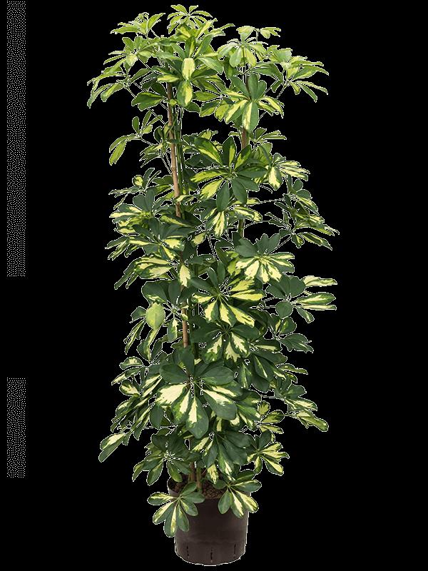 Schefflera gold capella 120 cm magas, 22 cm-es cserépben