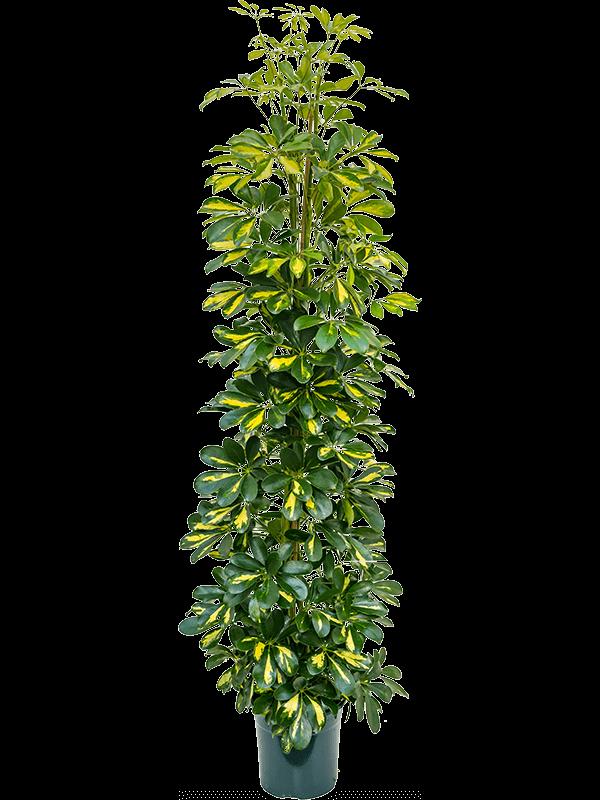 Schefflera gold capella 130 cm magas, 23 cm-es cserépben