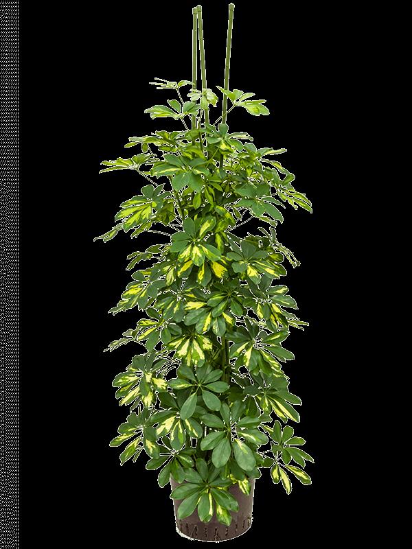Schefflera gold capella 140 cm magas, 28 cm-es cserépben