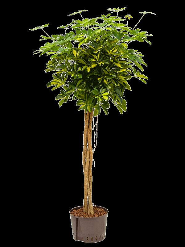 Schefflera gold capella 160 cm magas, 28 cm-es cserépben