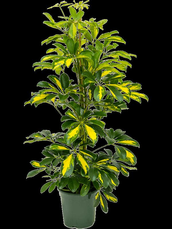 Schefflera gold capella 80 cm magas, 17 cm-es cserépben